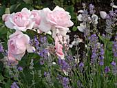 Rosa 'La Nina' (Edelrose) von Meilland, Lavendel