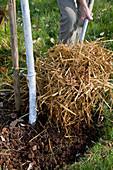 Baumscheibe mit Stroh mulchen
