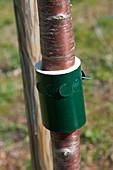 Im Frühling eine Schutzmanschette gegen Ameisen am Kirschbaum (Prunus) anbringen