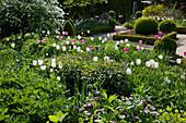 Frühlingsgarten mit Tulipa 'Inzell' 'Mata Hari' (Tulpen), Buxus (Buchs) Formschnitt - Gehölzen