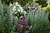 Artemisia absinthium 'Lambrook Silver' (Edelraute), Centranthus ruber (Spornblume), Rosa 'Ghislaine de Feligonde' 'Alchemist' (Kletterrosen), öfterblühend, duftend