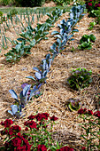 Mit Stroh gemulchter Gemüsegarten : Rotkohl, Rosenkohl (Brassica), Salate (Lactuca), Porree, Lauch (Allium porrum), Dianthus barbatus (Bartnelken)