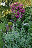 Clematis 'Sunset' (Waldrebe) an Metall-Laube, Nepeta (Katzenminze), Salvia nemorosa (Ziersalbei), Buxus (Buchs), Alcea (Stockrose)