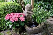 Hydrangea macrophylla (Hortensie) neben kleinem Brunnen, Hedera (Efeu), Buxus (Buchs)