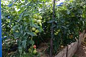 Gewächshaus mit Hochbeet : mit Stroh gemulchte Tomaten (Lycopersicon)