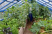 Gewächshaus mit Hochbeet : verschiedene Basilikum - Sorten (Ocimum basilicum), mit Stroh gemulchte Zuckermelonen, Carentais-Melonen (Cucumis melo), Tomaten (Lycopersicon) und Zucchini (Cucurbita pepo)