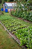 Gemüsebeete mit Römersalat, Bindesalat, Romana-Salat (Lactuca), Rote Bete (Beta vulgaris), Stangenbohnen (Phaseolus), Fenchel (Foeniculum), Helianthus (Sonnenblumen), Gewächshaus mit blauen Regentonnen