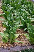 Romana-Salat, Römersalat, Bindesalat (Lactuca sativa var. longifolia) mit Stroh gemulcht im Gemüsebeet