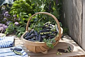 Spankorb mit frisch gepflückten Kapuzinererbsen 'Blauschokkers' (Pisum)