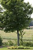 Baumscheibe mit Kapuzinerkresse bepflanzen 2/2