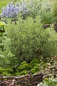 Colapflanze (Artemisia abrotanum var.maritima), Petersilie (Petroselinum)