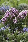 Phlox paniculata 'Landhochzeit' (Flammenblumen), Salvia farinacea
