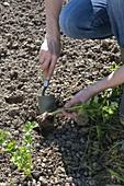 Sellerie (Apium graveolens) pflanzen