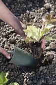Salat (Lactuca) pflanzen