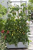Fahrbarer Kasten mit Feuerbohne (Phaseolus coccineus) und Thunbergia alata