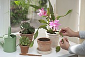 Ableger nehmen von Epiphyllum 'Deutsche Kaiserin' (Blattkaktus)