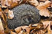 Igel im Winterschlaf, Erinaceus europaeus, Deutschland / European Hedgehog, Erinaceus europaeus hibernating, Bavaria, Germany