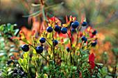 Heidelbeeren, Vaccinium myrtillus, Skandinavien, Europa / Blueberries, Vaccinium myrtillus, Scandinavia, Europe