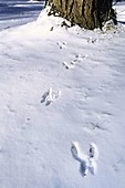 Eichhörnchen-Spuren im Schnee, Sciurus vulgaris, Bayern, Deutschland / Red Squirrel tracks in snow, Sciurus vulgaris, Bavaria, Germany, Europe