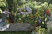 Naschterrasse mit Mangold (Beta) und Fenchel (Foeniculum) in Holzkiste