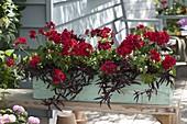 Kasten mit Pelargonium Caliente 'Deep Red' (Geranien) und Mukunu - Wenna