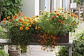 Oranger Kasten : Zinnia 'Profusion Orange' (Zinnien), Muehlenbeckia