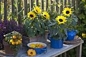 Helianthus annuus (Sonnenblumen)