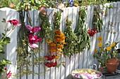 Tee- und Küchenkräuter am Zaun trocknen