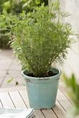 Colakraut (Artemisia abrotanum var. maritima) im türkisen Topf