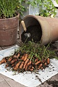 Möhren (Daucus carota) aus dem Terracottatopf ernten