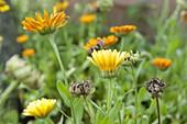 Calendula (Ringelblumen), Blüten und Samenstände