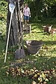 Heruntergefallene Äpfel (Malus) und Laub auf dem Rasen