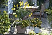 Cassia didymobotrya (Gewürzrinde), Calibrachoa Celebration 'Capri Gold'