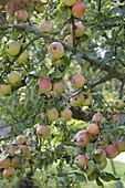 Apfel 'Goldparmäne' (Malus) , alte Apfelsorte
