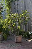 Ficus carica (Echte Feige) in Terracotta - Kübel
