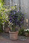 Solanum rantonnetii syn. Lycianthes (Enzianbaum) im Terracotta - Kübel