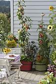 Naschbalkon mit Apfel 'Starline Firedance' (Malus) unterpflanzt mit Chili