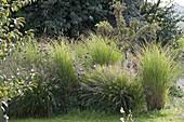Pennisetum compressum 'Hameln' (Federborstengras) und Miscanthus