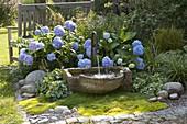 Schattenbeet mit Brunnen : Hydrangea 'Endless Summer' (Hortensien)
