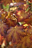 Buntes Herbstlaub von Acer platanoides (Spitzahorn)