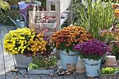 Chrysanthemum 'Kiyellow' 'Kipli' 'Kiroul' 'Kilo' (Herbstchrysanthemen)