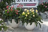 Gerbera Everlast 'Ruby' rot, 'Honey' gelb, 'Rose' im Hintergrund , weiße Bank