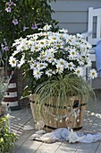 Leucanthemum x superbum 'Daisy May' (Margeriten)