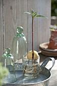 Jungpflanze von Avocado (Persea americana) im Wasserglas gezogen