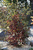 Cornus kousa (Blumenhartriegel) im Kiesbeet