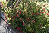 Ananassalbei (Salvia rutilans)