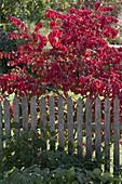 Euonymus alatus (Korkleisten - Spindelstrauch) hinter Gartenzaun