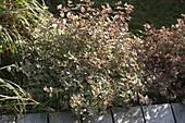 Abelia grandiflora 'Confetti' (Weißbunte Abelie) im Beet