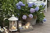 Hydrangea (Hortensie) im Korb, Petunia (Petunien), Laterne, Windlichter