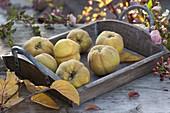 Tablett mit frisch gepflückten Apfelquitten 'Konstantinopler' (Cydonia oblonga